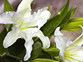Glowing Easter Lilies